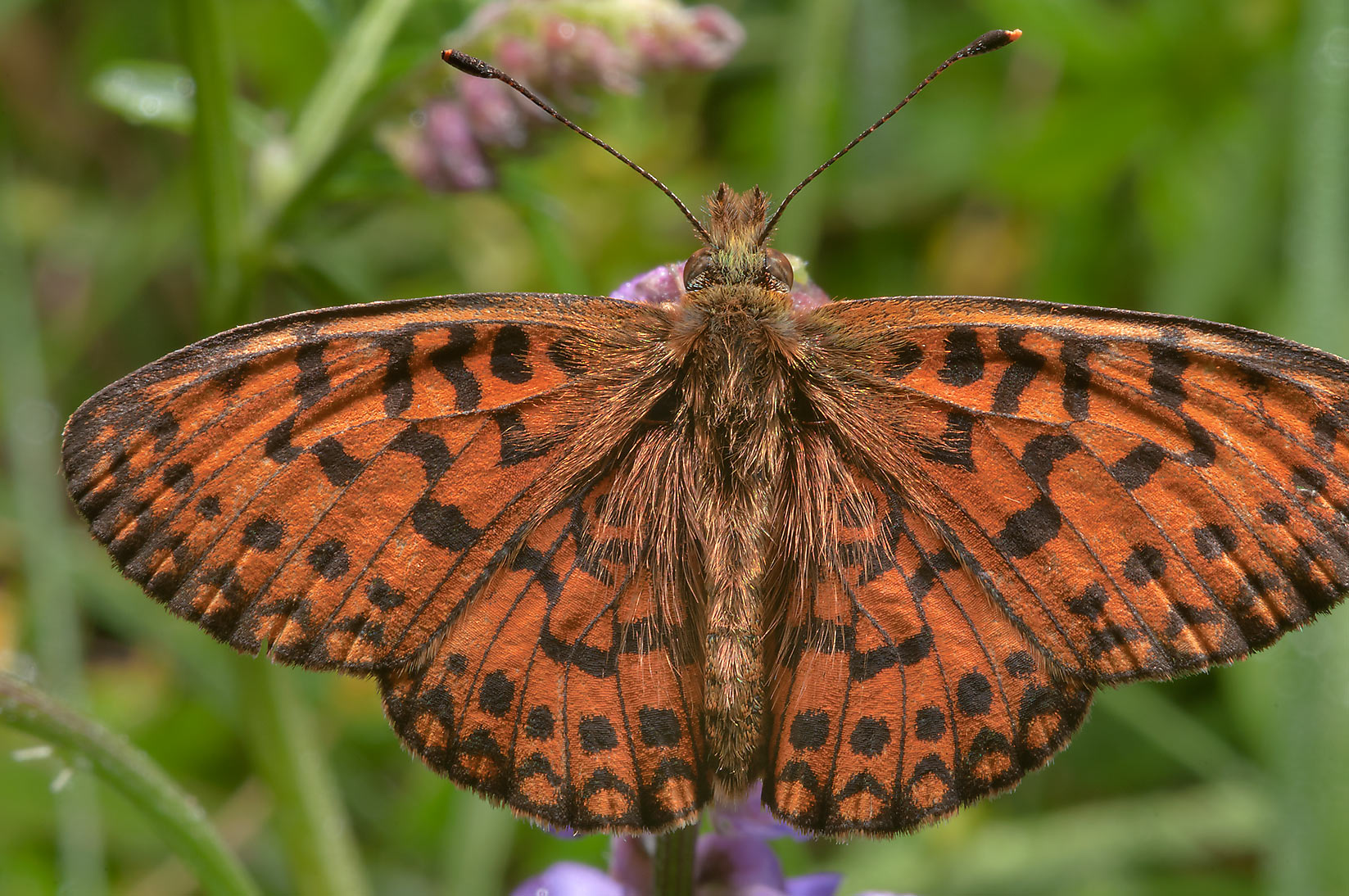 Black and orange speckled butterfly Fritillary...miles north from St.Petersburg. Russia