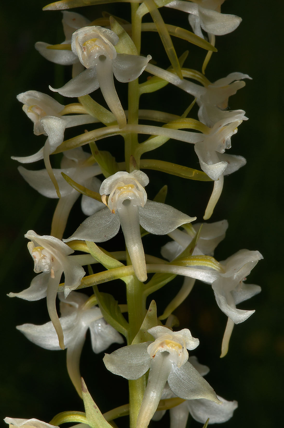 Flowers of Lesser Butterfly-orchid (Platanthera...miles north from St.Petersburg. Russia