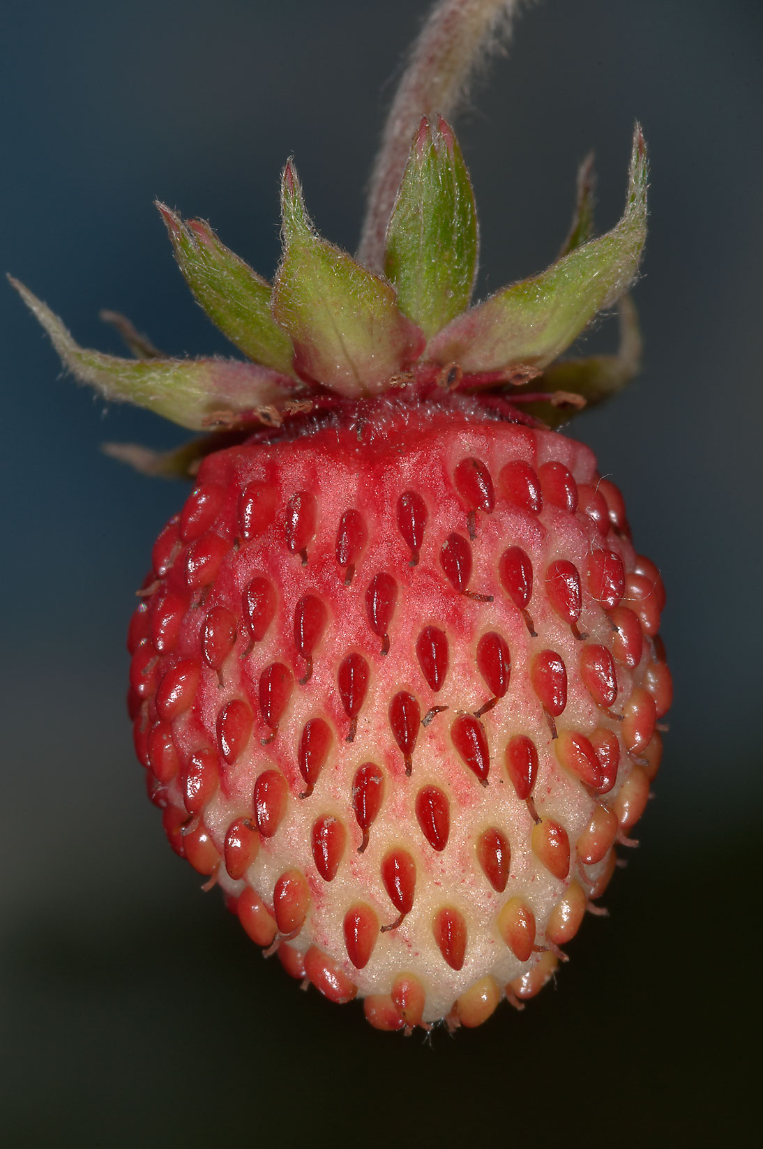 Early fruit of wild strawberry (Russian name...miles north from St.Petersburg. Russia