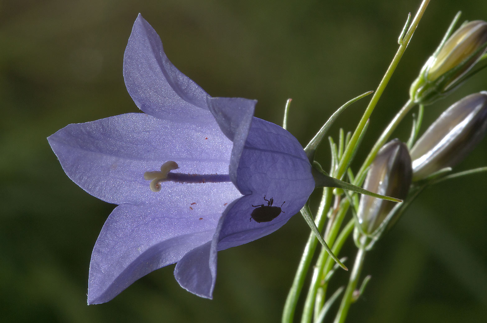 Harebell (Round-leaved Bellflower, Campanula...from Deviatkino. St.Petersburg, Russia