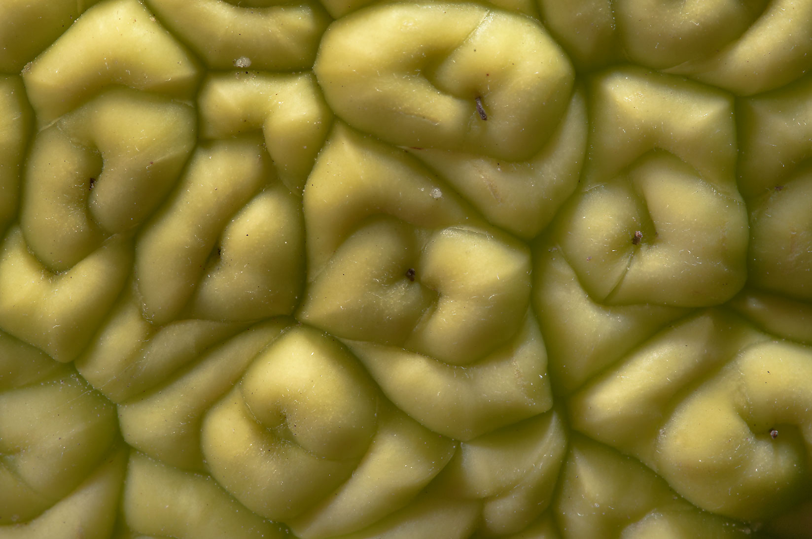Texture of Horse apple (osage orange) in TAMU...M University. College Station, Texas
