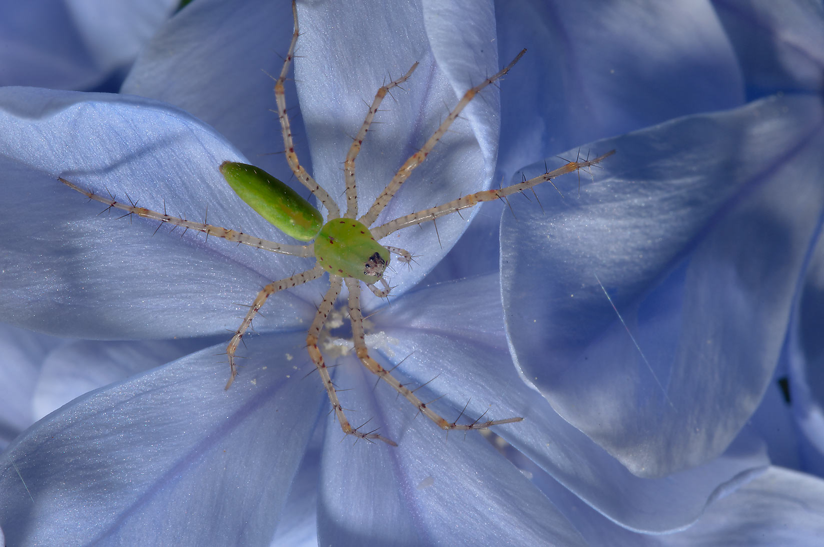 Green lynx spider on Plumbago auriculata in TAMU...M University. College Station, Texas