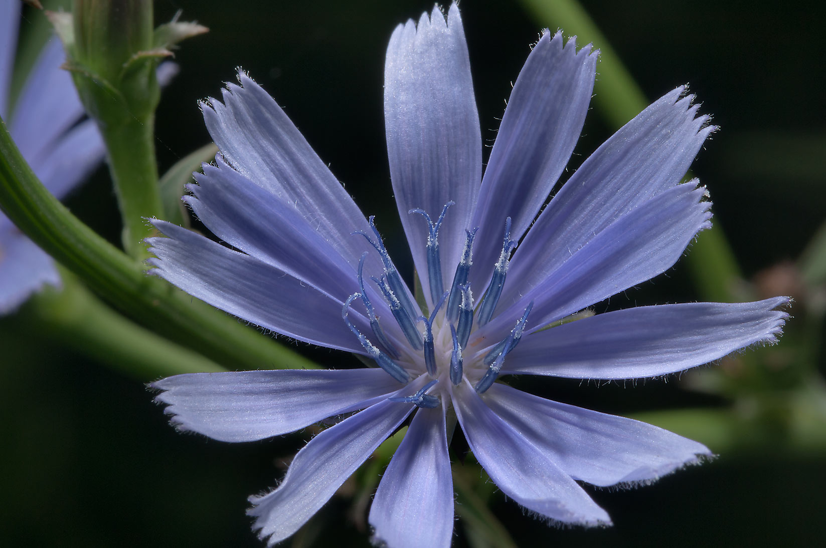 Chicory in Antique Rose Emporium. Independence, Texas