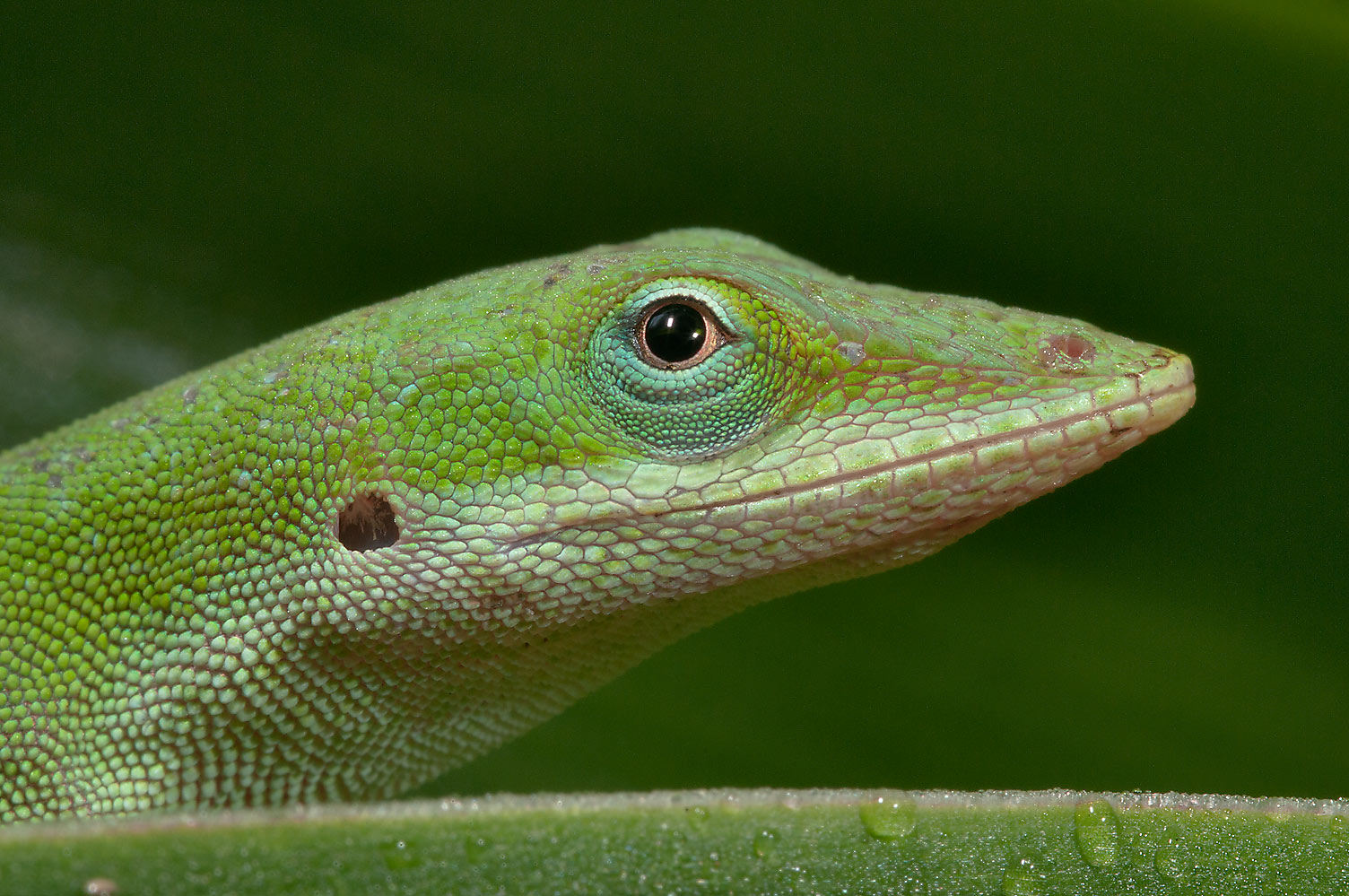 Green anole lizard in TAMU Holistic Garden in...M University. College Station, Texas