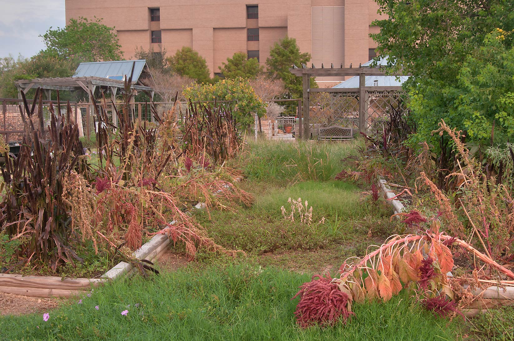 Abandoned flowerbeds in TAMU Holistic Garden in...M University. College Station, Texas