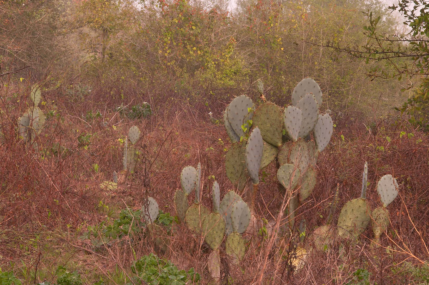 Prickly pears in Washington-on-the-Brazos State Historic Site. Washington, Texas