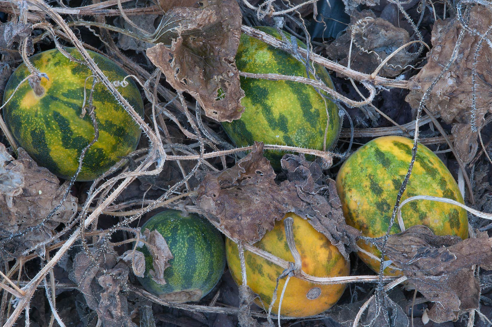Frozen wild muskmelon (Cucumis melo, Dudaim melon...M University. College Station, Texas