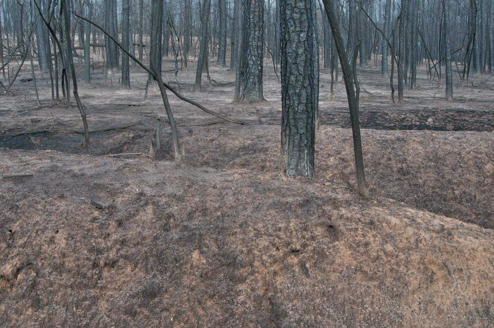 Pine forest cleaned by fire in Bastrop State Park. Bastrop, Texas