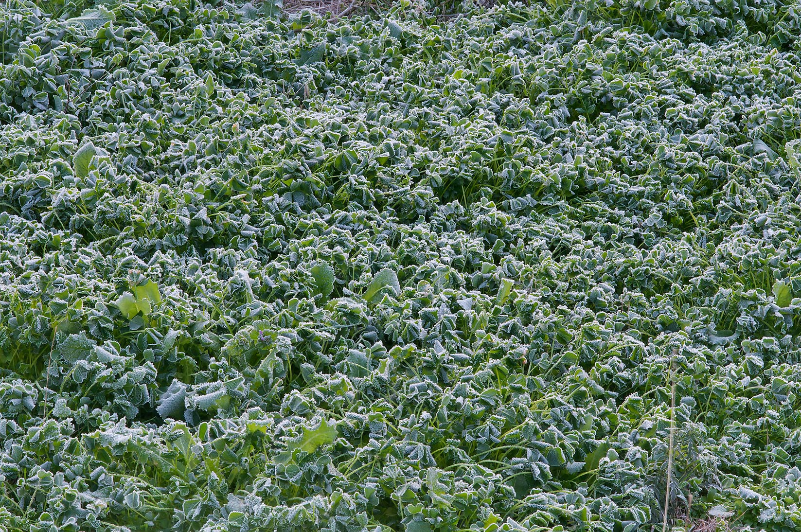 Frost on clover in TAMU Horticultural Gardens in...A&M University. College Station, Texas