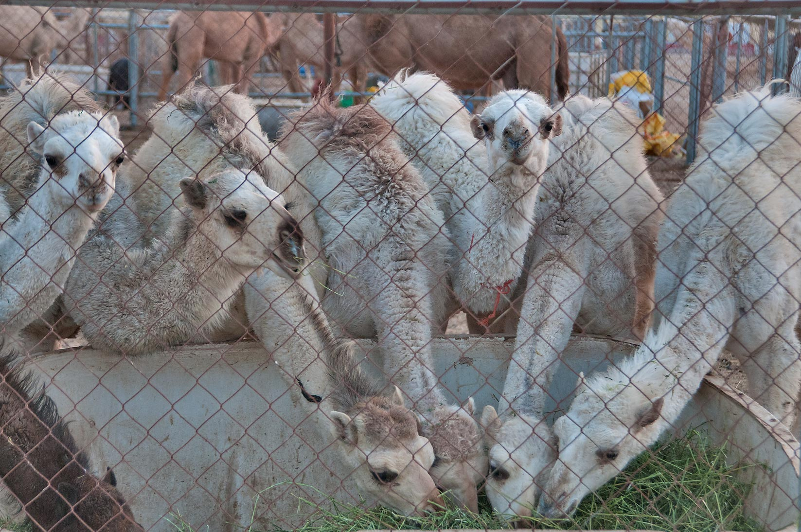 Young white camels eating fodder in Camel Market (Souq). Doha, Qatar