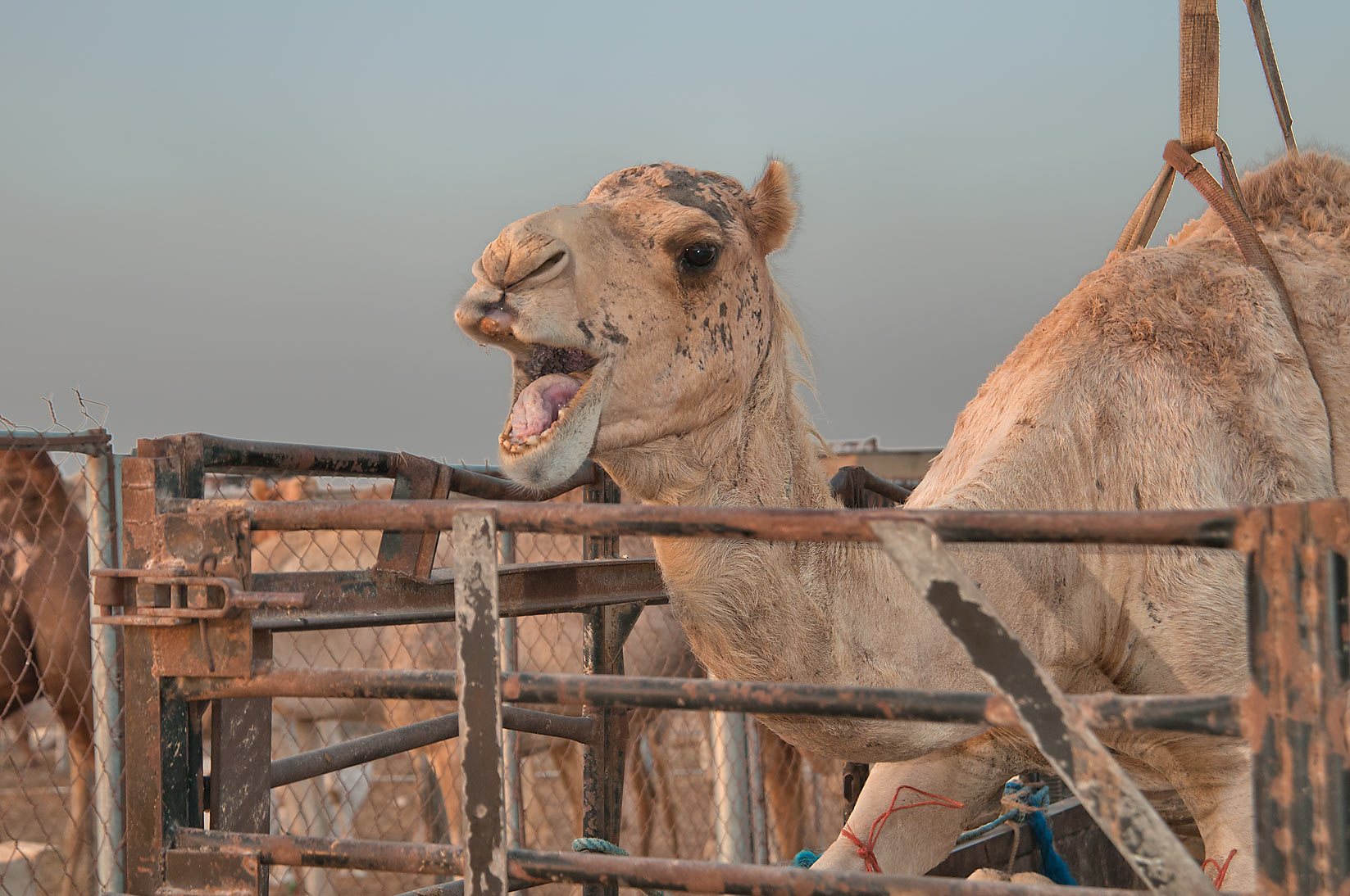 Bawling camel loaded onto a truck using crane in Camel Market (Souq). Doha, Qatar