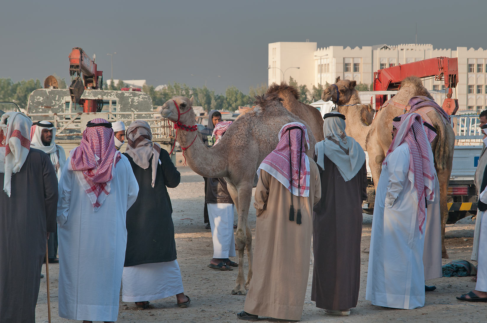 Choosing a camel in Camel Market (Souq), racing section. Doha, Qatar