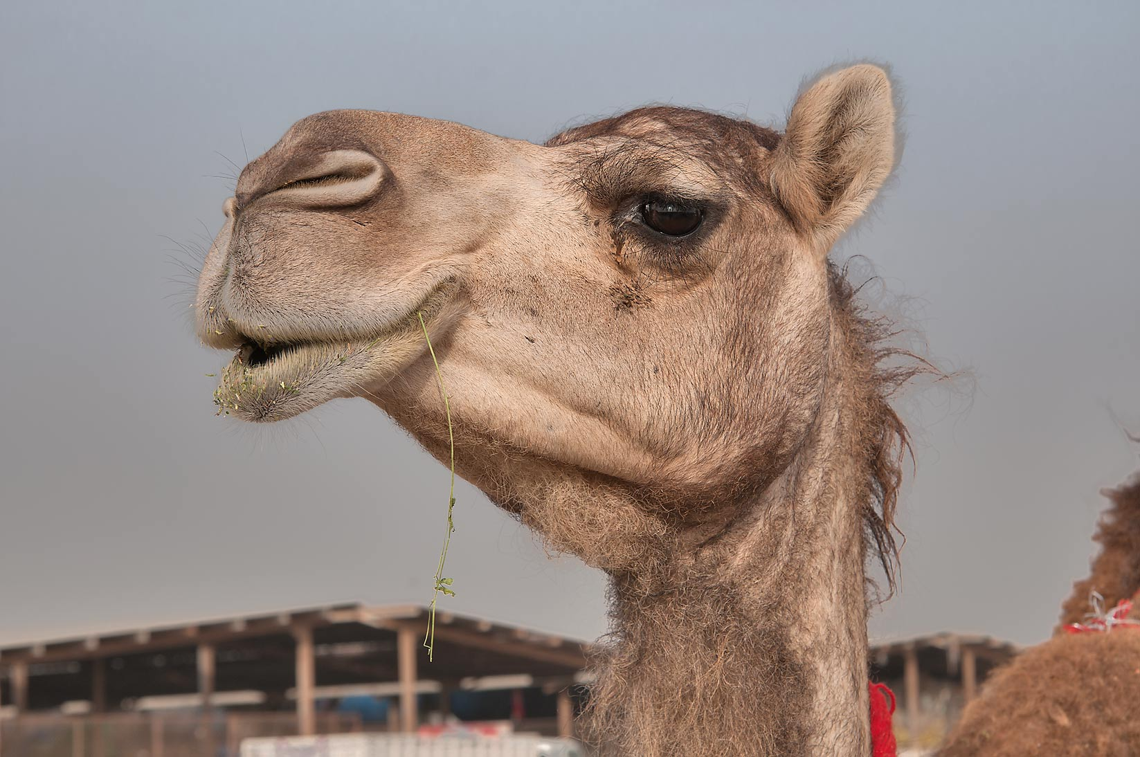 Camel chewing a stalk in Wholesale Animal Market. Doha, Qatar
