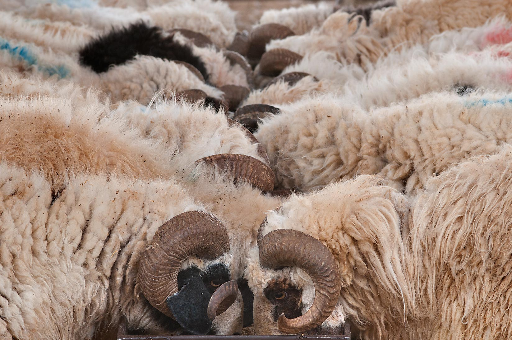 Rams feeding in a pen in Sheep Market, Wholesale Markets area. Doha, Qatar