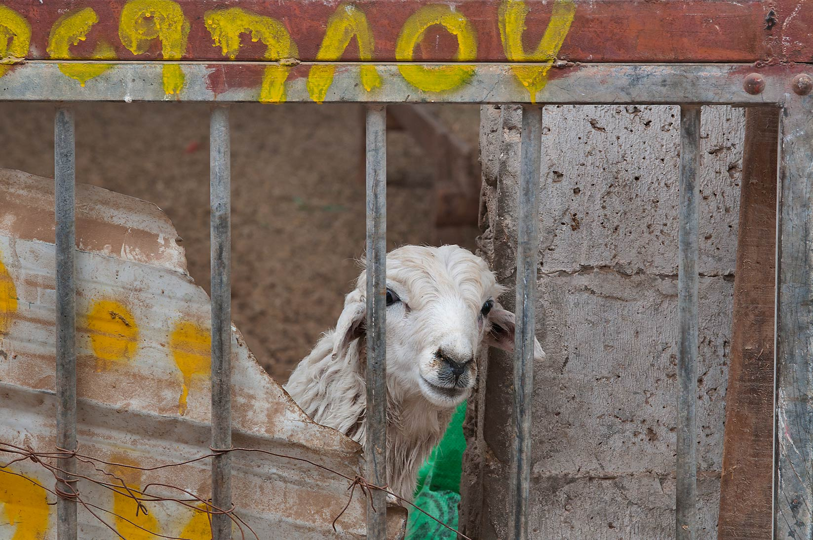 Curious sheep in Sheep Market, Wholesale Markets area. Doha, Qatar