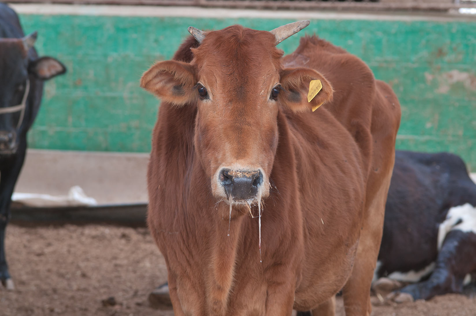 Brown cow with a running nose in Animal Market, Wholesale Markets area. Doha, Qatar