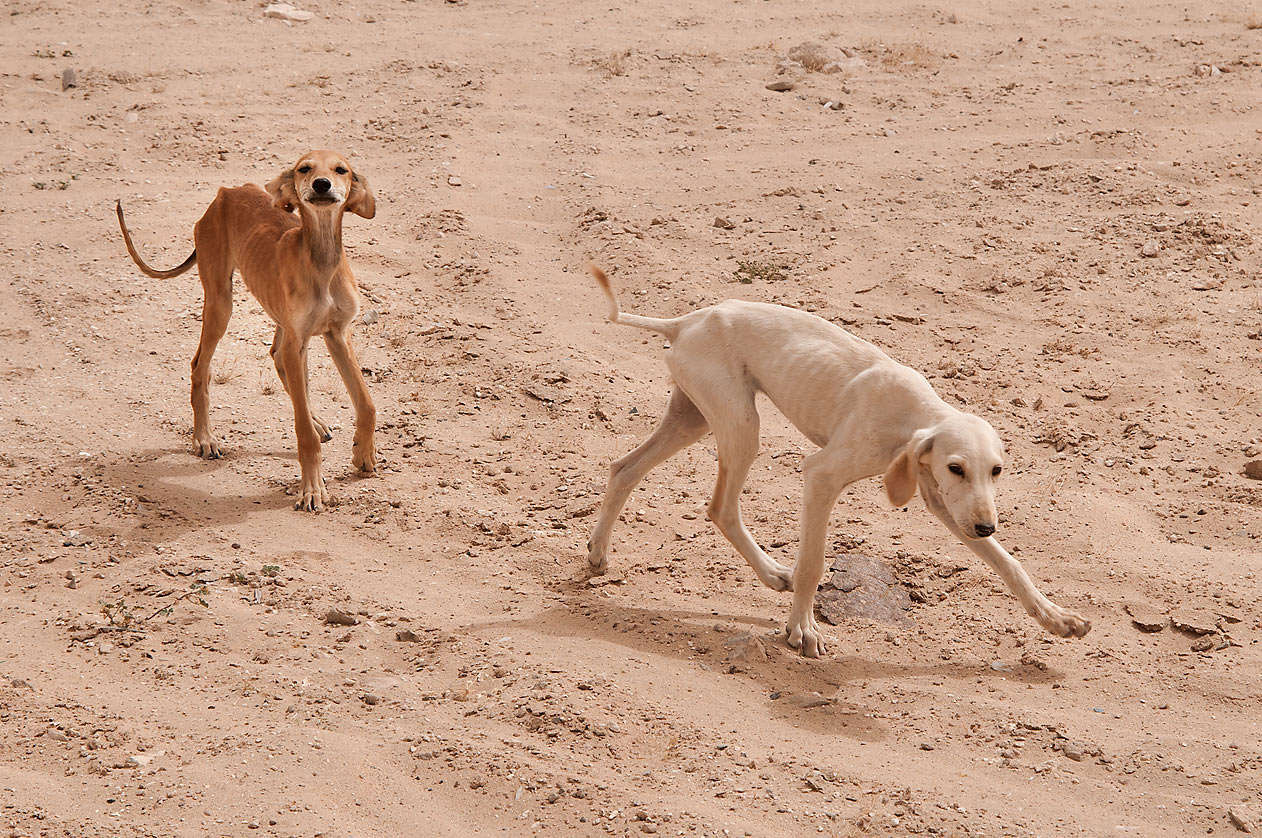 Hunting hound dogs Saluki (Persian Greyhound...a farm of bin Saif Al Mansouri. Qatar