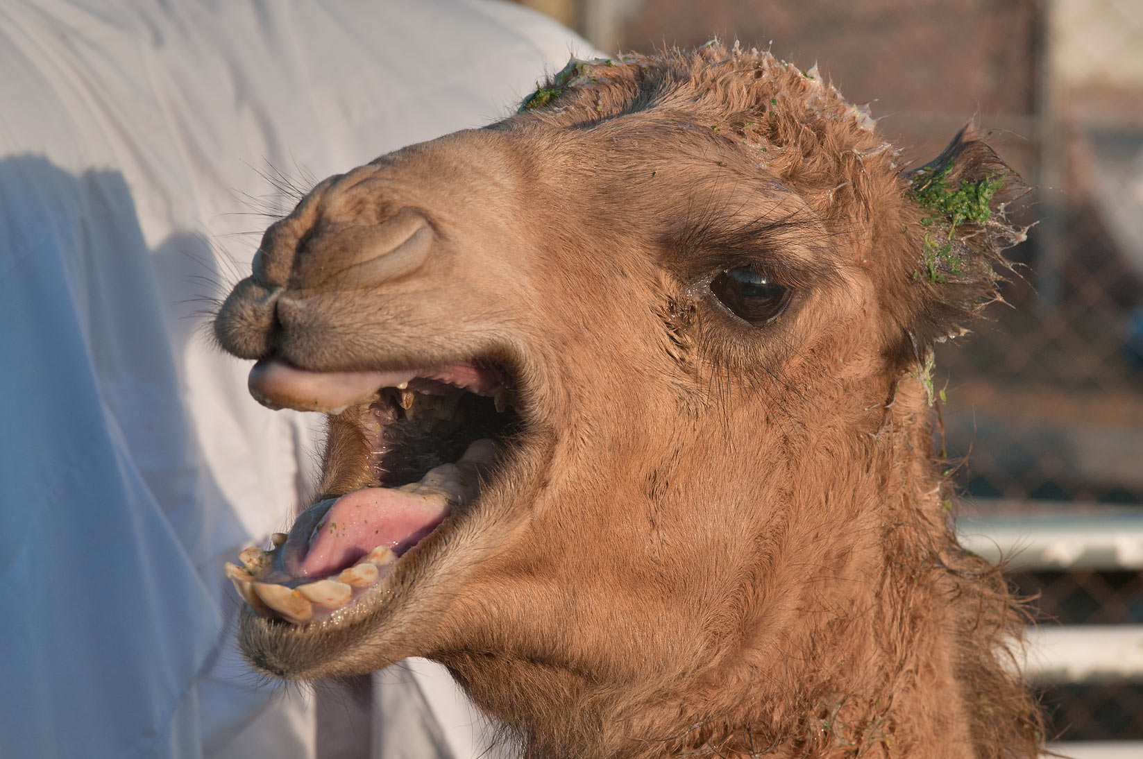 Crying camel in Camel Market (Souq), Wholesale Markets area. Doha, Qatar