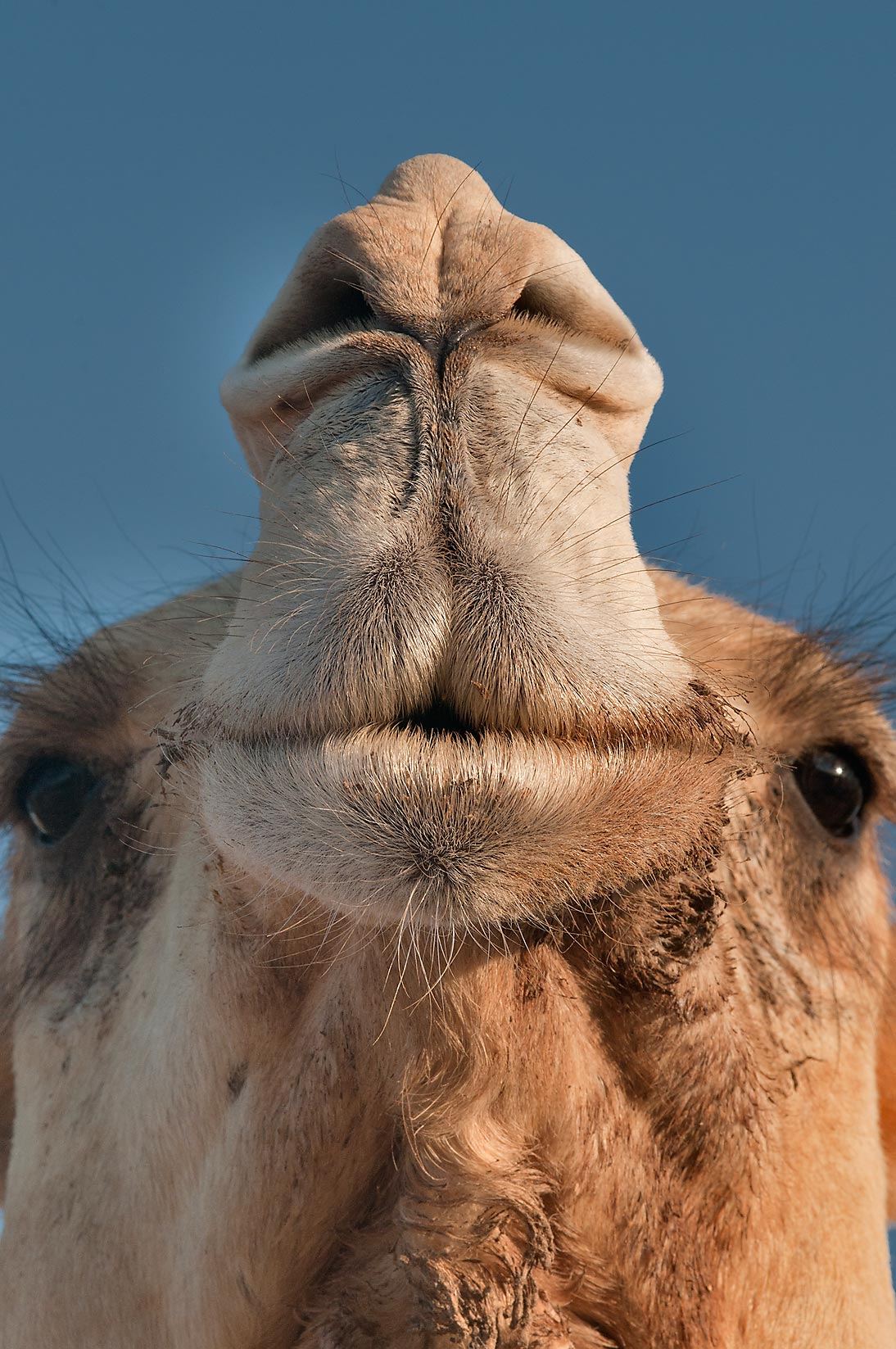 Camel's nose in Camel Market (Souq), Wholesale Markets area. Doha, Qatar