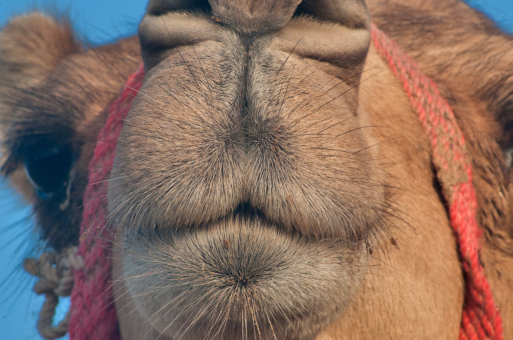 Snout of a camel at Camel Market (Souq) in Wholesale Markets area. Doha, Qatar