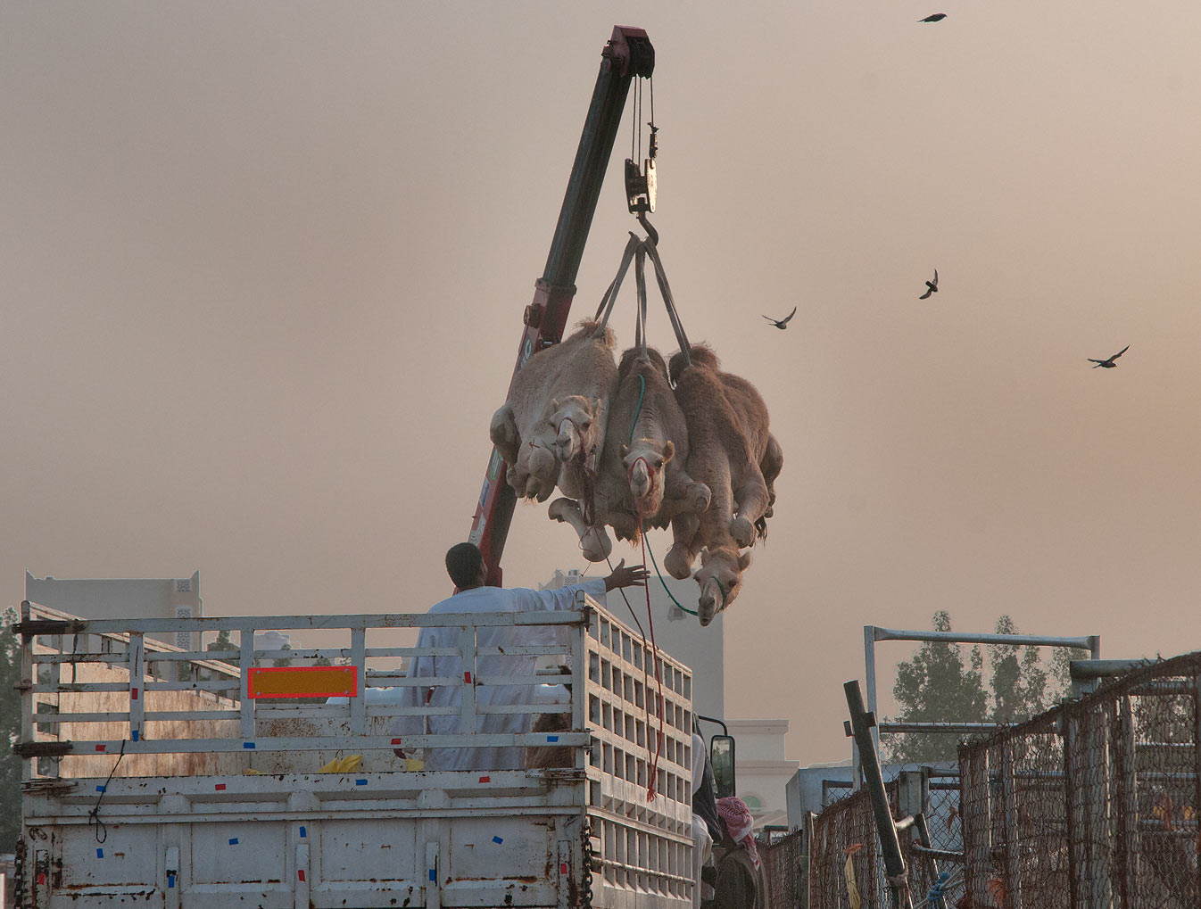 Three camels plucked in air by a crane in Animal...Wholesale Markets area. Doha, Qatar