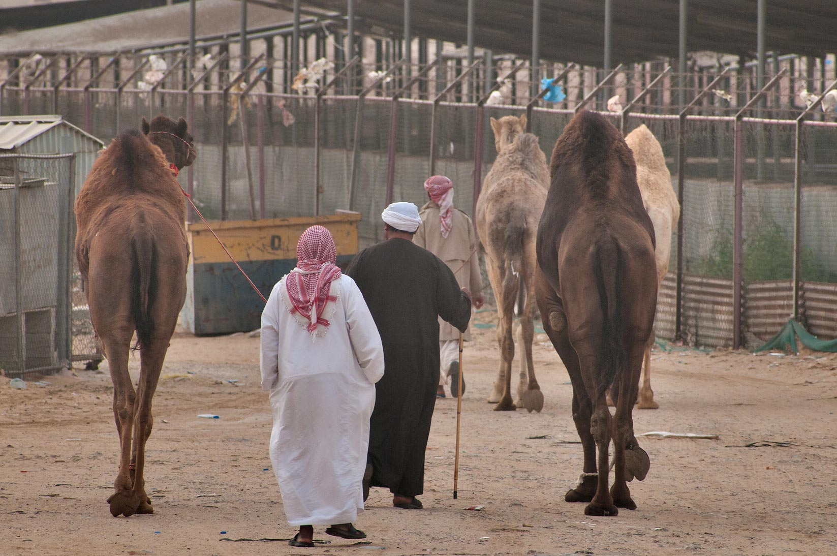 Several camels led by persons in Camel Market, wholesale markets area. Doha, Qatar
