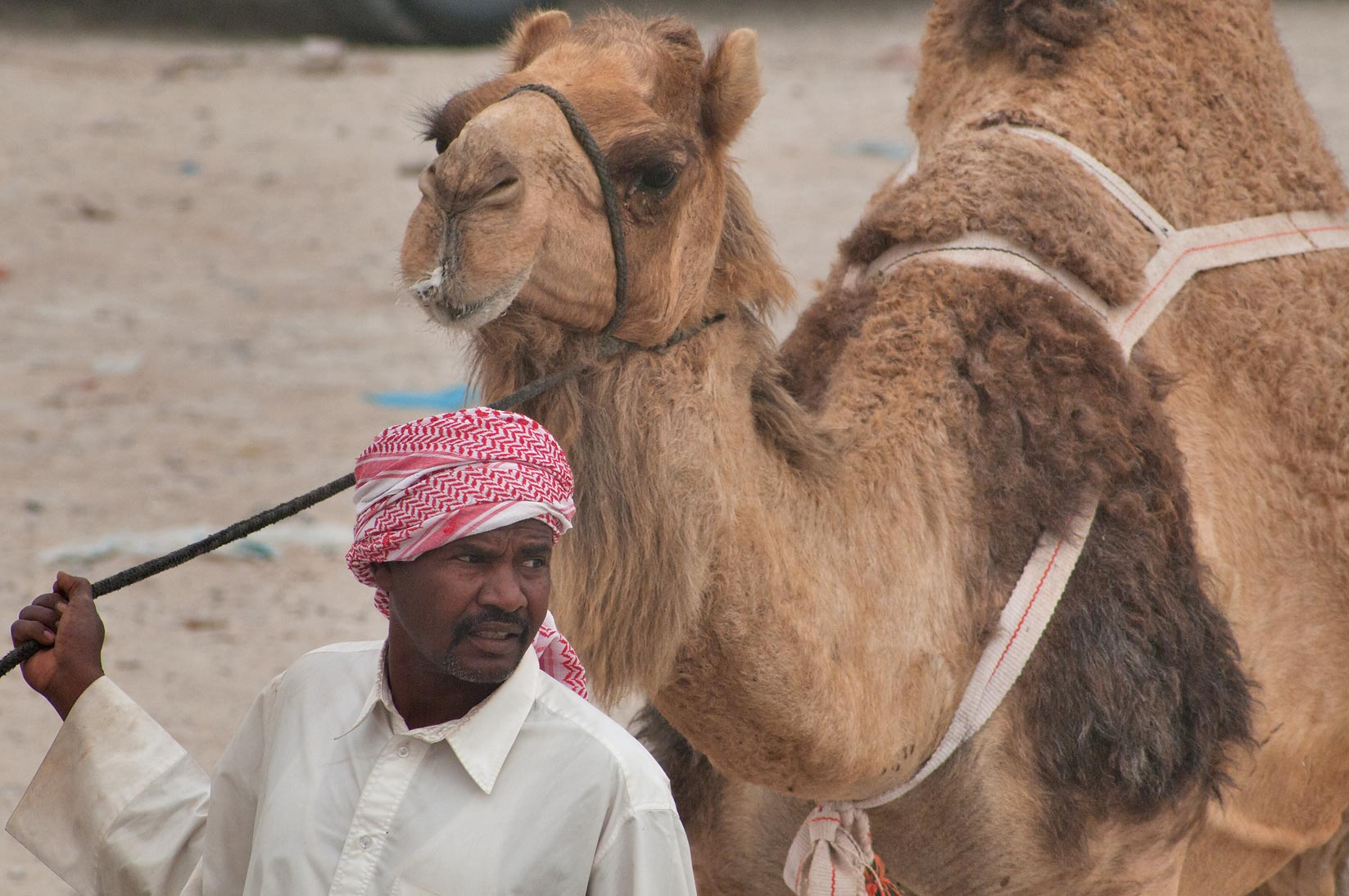 Leading a camel in Camel Market, Wholesale Markets area. Doha, Qatar