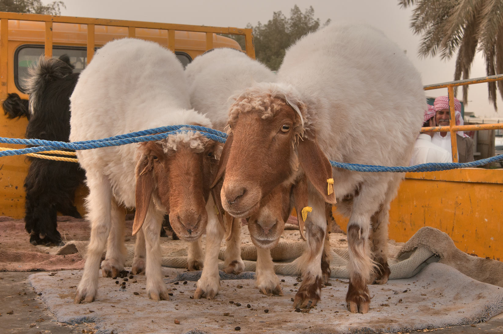 Animals in a truck in Sheep Market, Wholesale Markets area. Doha, Qatar