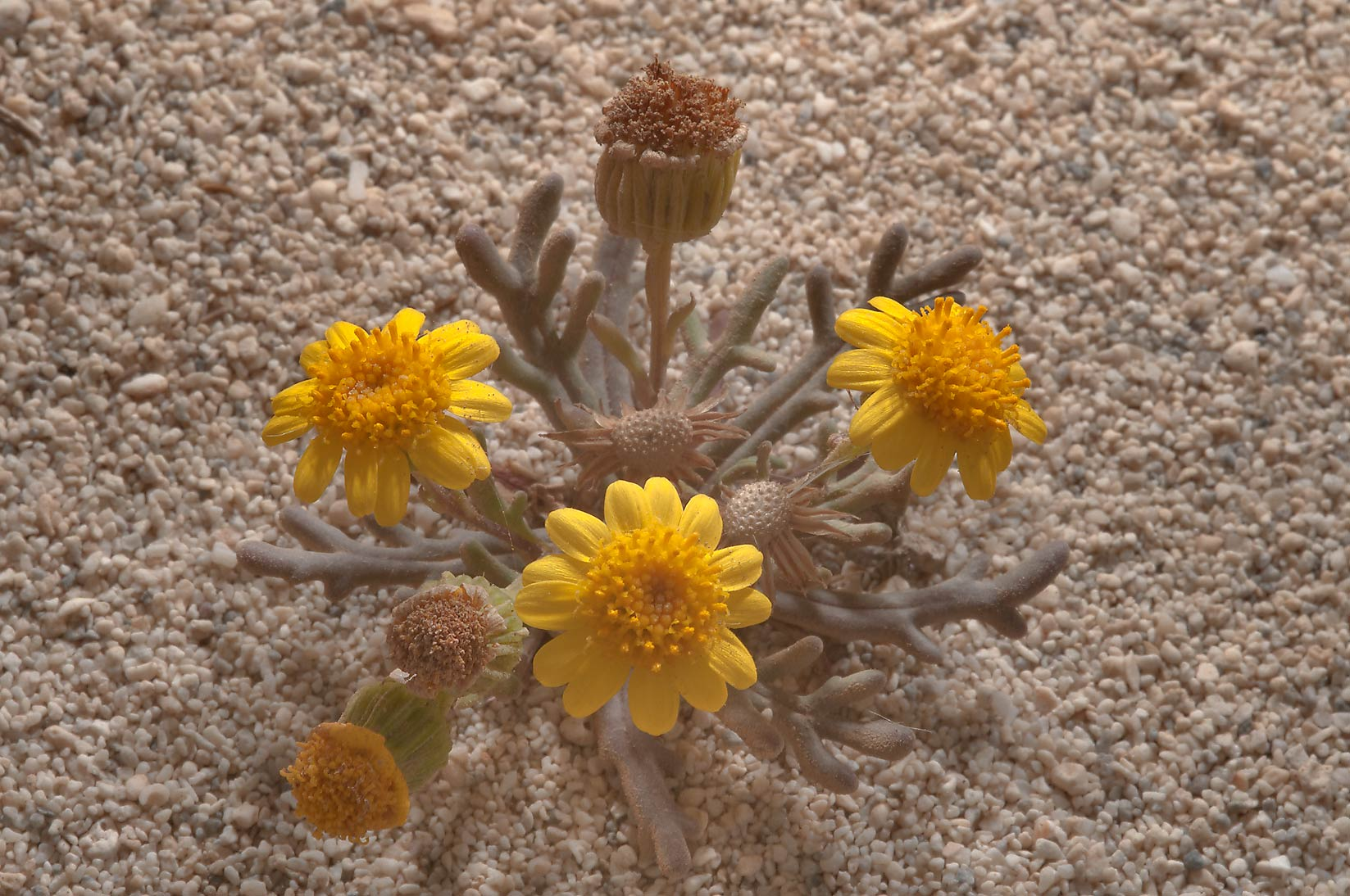 Buck's horn groundsel (Senecio glaucus, mureer...tip of Qatar, east from Ruwais