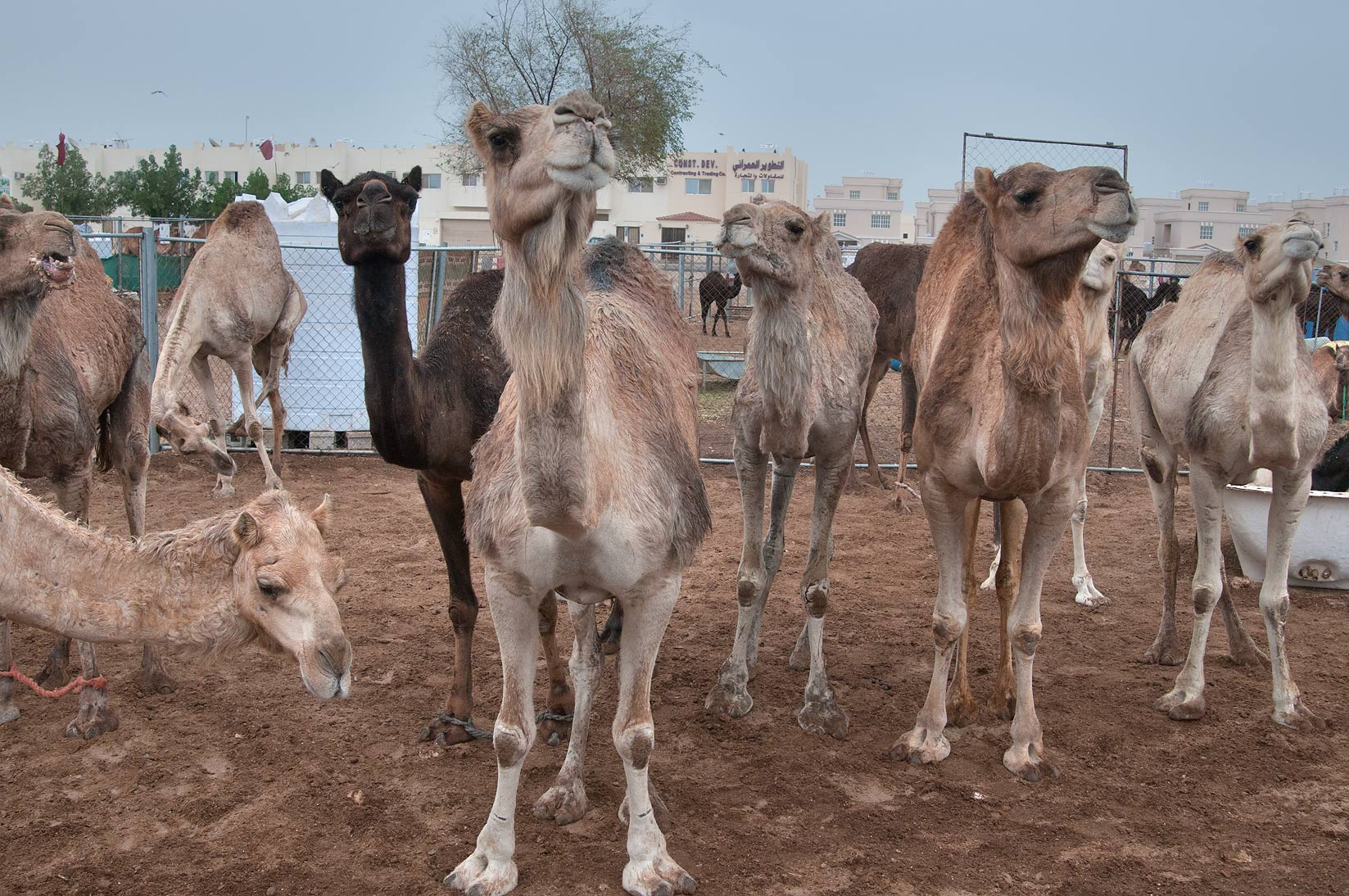 Group of standing camels at rain in Camel Market, Wholesale Markets area. Doha, Qatar