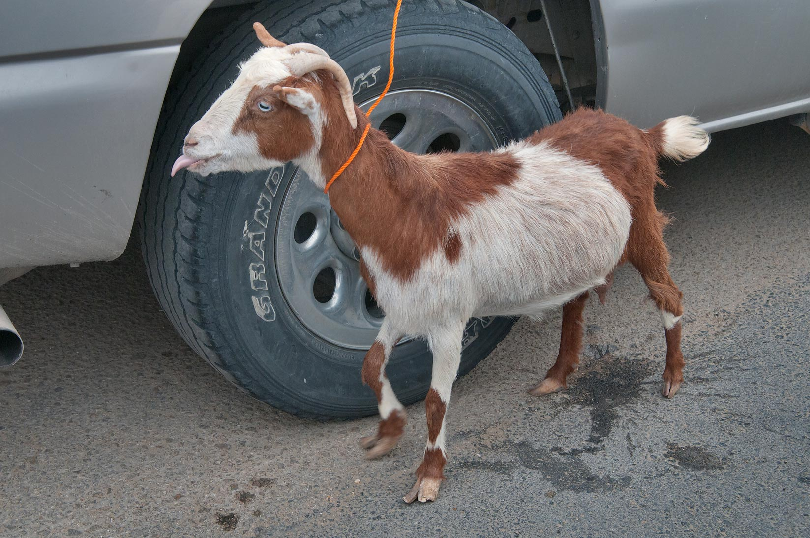 Goat tied to a car, sold in Sheep Market, Wholesale Markets area. Doha, Qatar