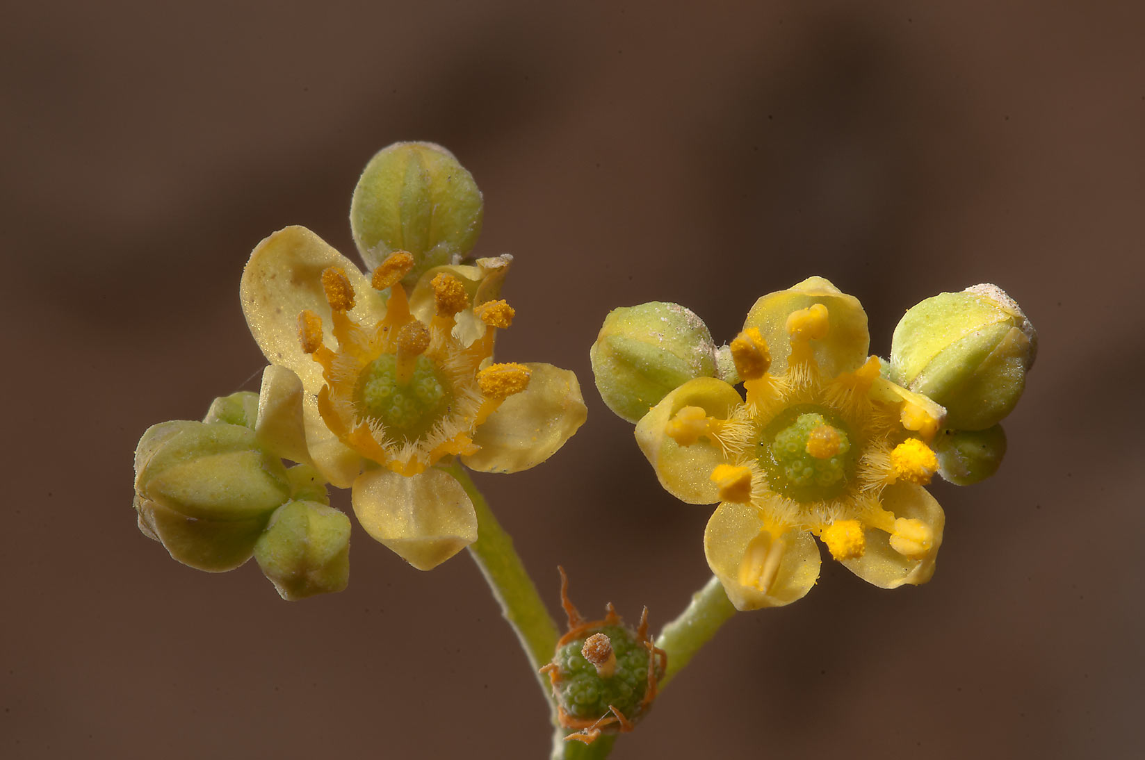 Side lit desert yellow flowers of Haplophyllum...of Jebel Fuwairit. Northern Qatar