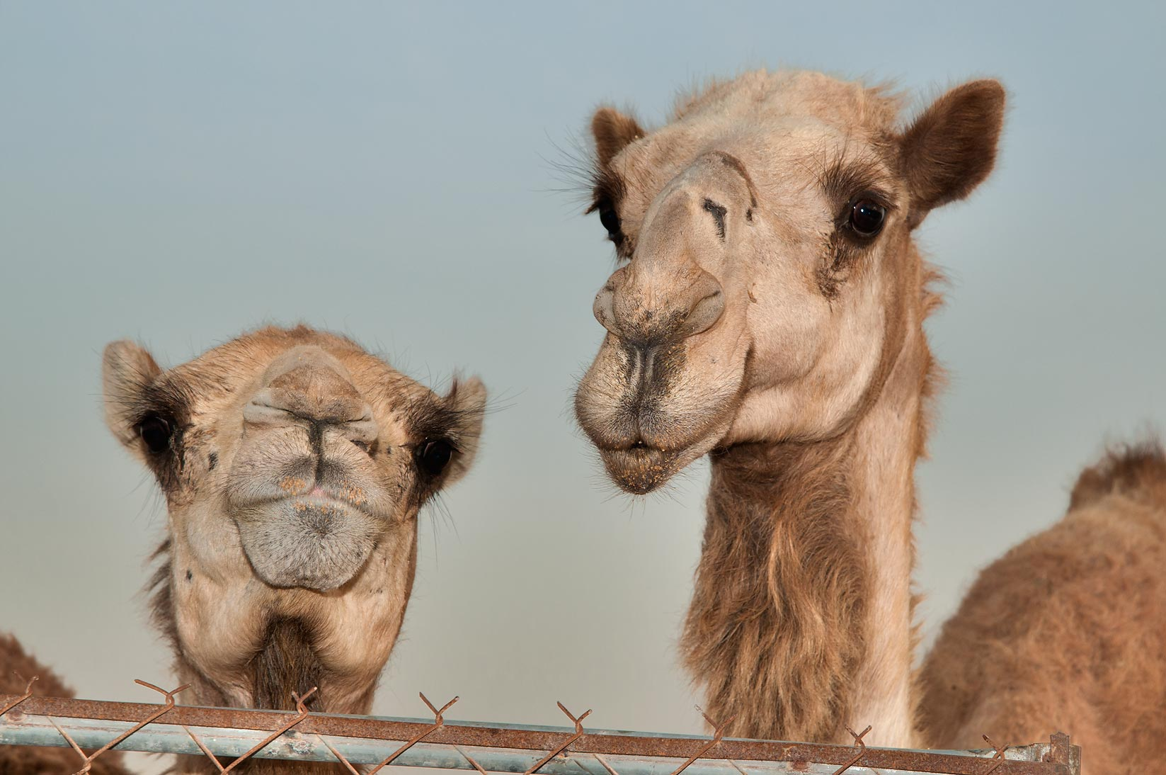 Two animals behind a fence in Camel Market, Wholesale Markets area. Doha, Qatar