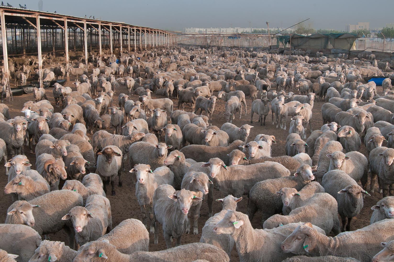 Australian sheep in a feedlot of Animal and...Wholesale Markets area. Doha, Qatar