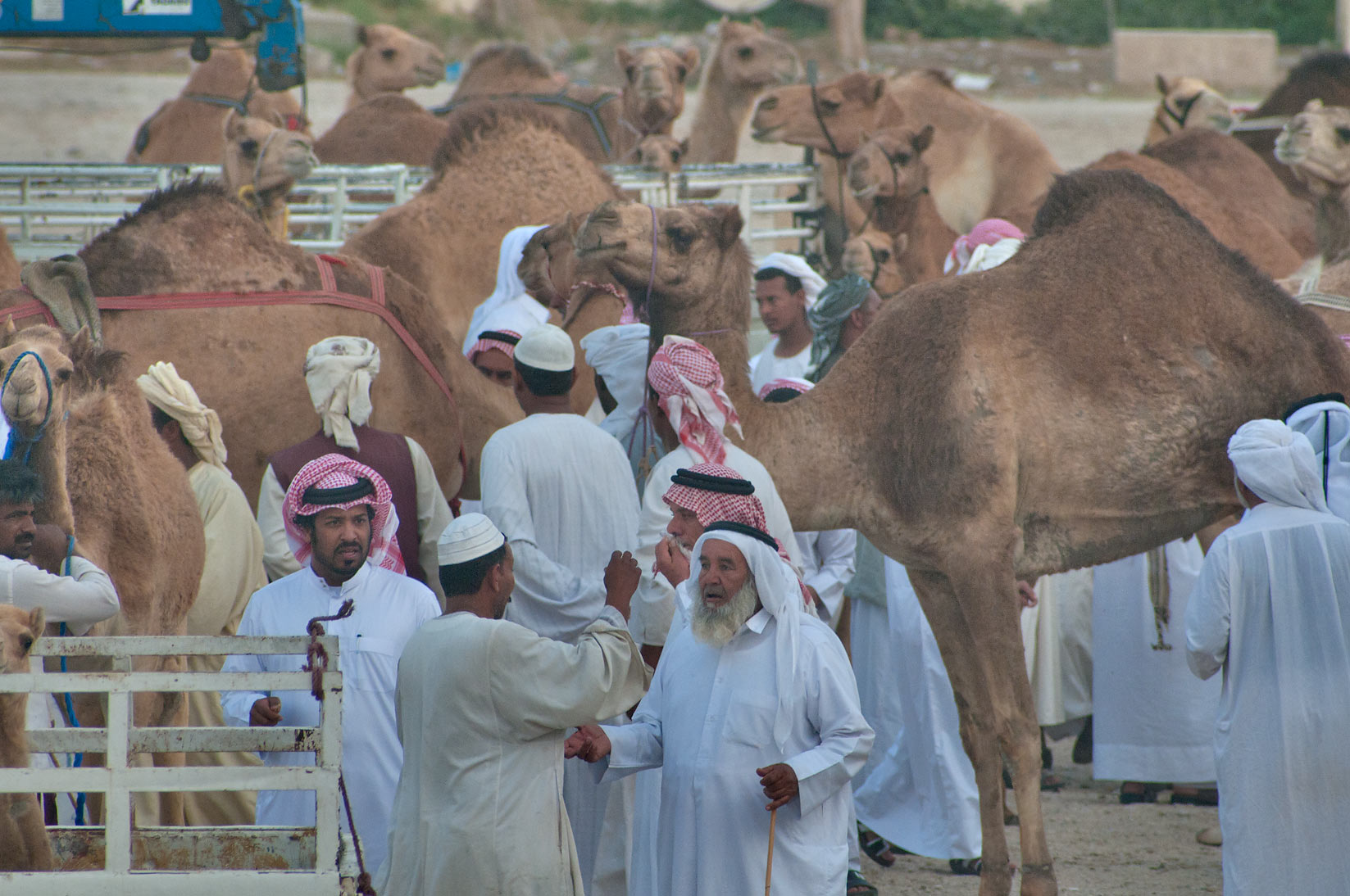 Morning greetings in racing section of Camel Market, Wholesale Markets area. Doha, Qatar