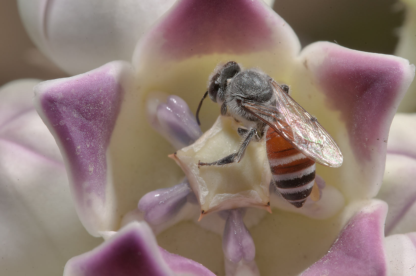 Honey bee on a flower of Sodom Apple (Calotropis...Compound, Abu Hamour area. Doha, Qatar