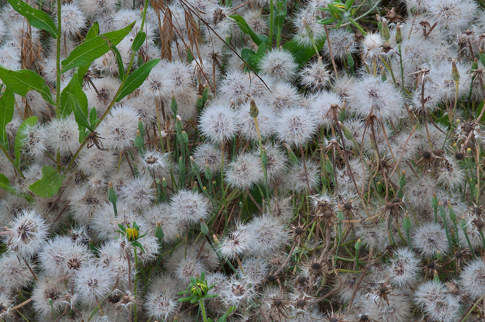 Seed heads of Texas dandelions in Lick Creek Park. College Station, Texas
