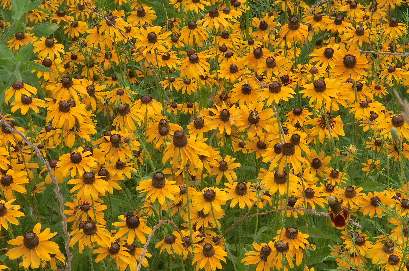 Dense field of Black Eyed Susan near Loop Trail...State Historic Site. Washington, Texas