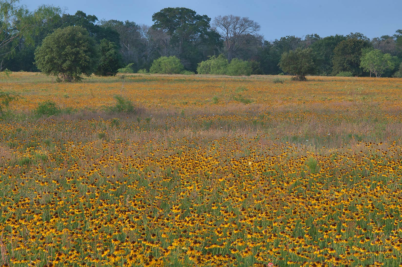 Field of Black Eyed Susan flowers near Rd. FM 60 near Lake Somerville. Texas