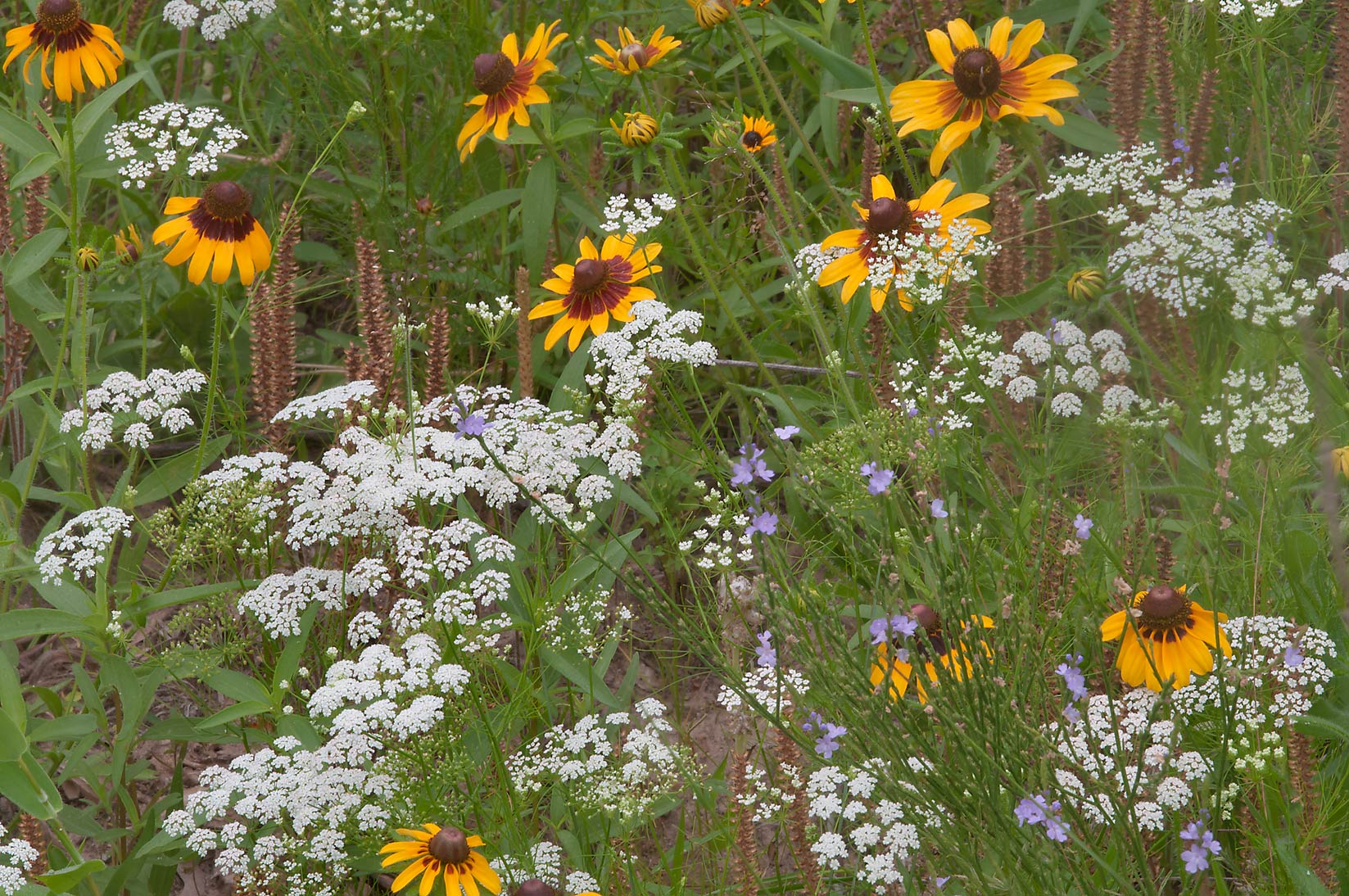 Black eyed susans (Rudbeckia hirta) and Mock...Creek Park. College Station, Texas