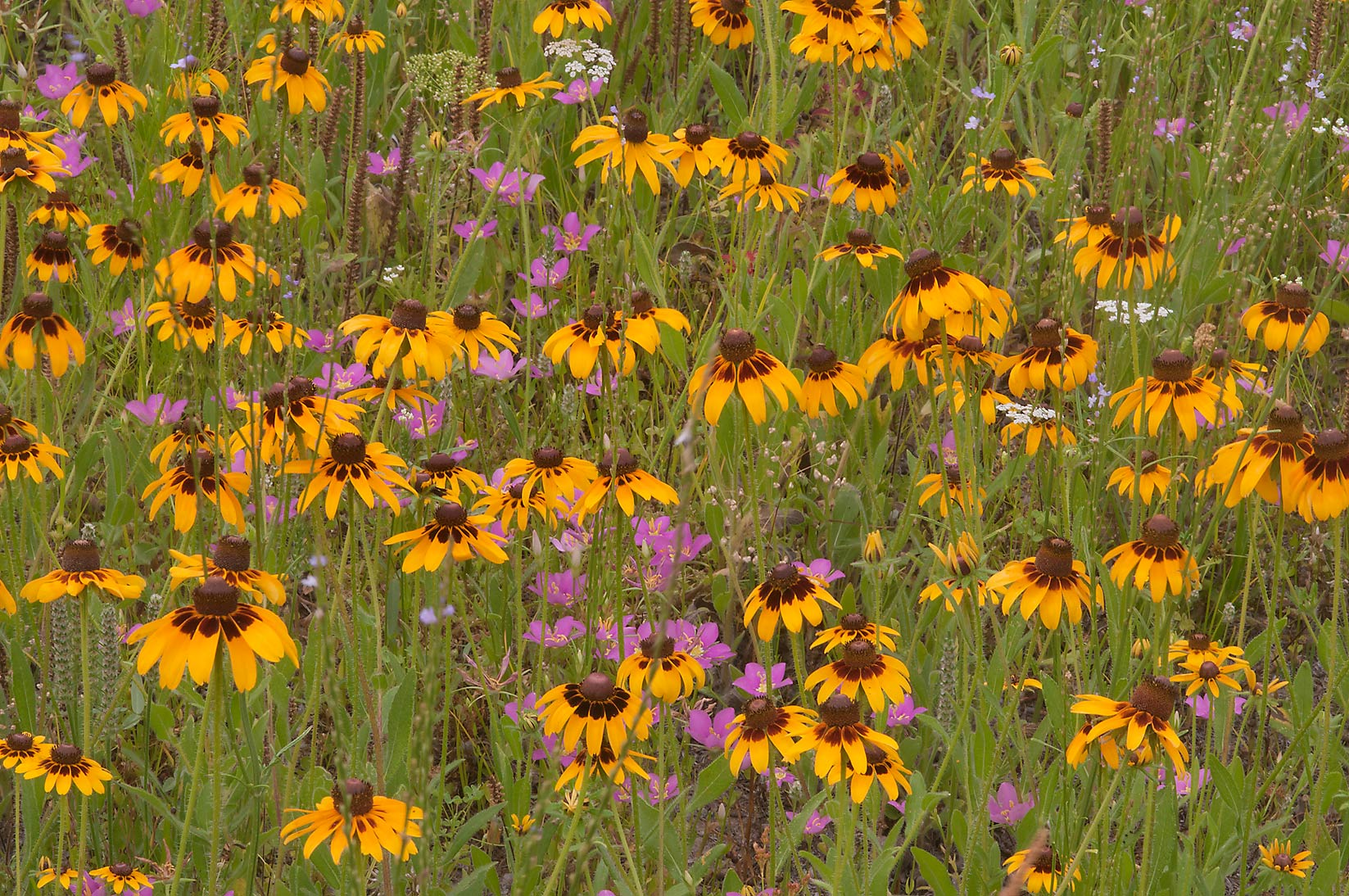 Black eyed susan and Meadow Pink near equestrian...Creek Park. College Station, Texas