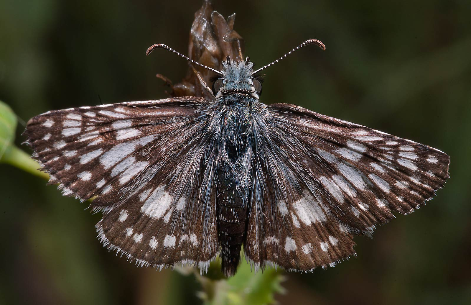 Checkered skipper butterfly (Pyrgus communis) in...State Historic Site. Washington, Texas