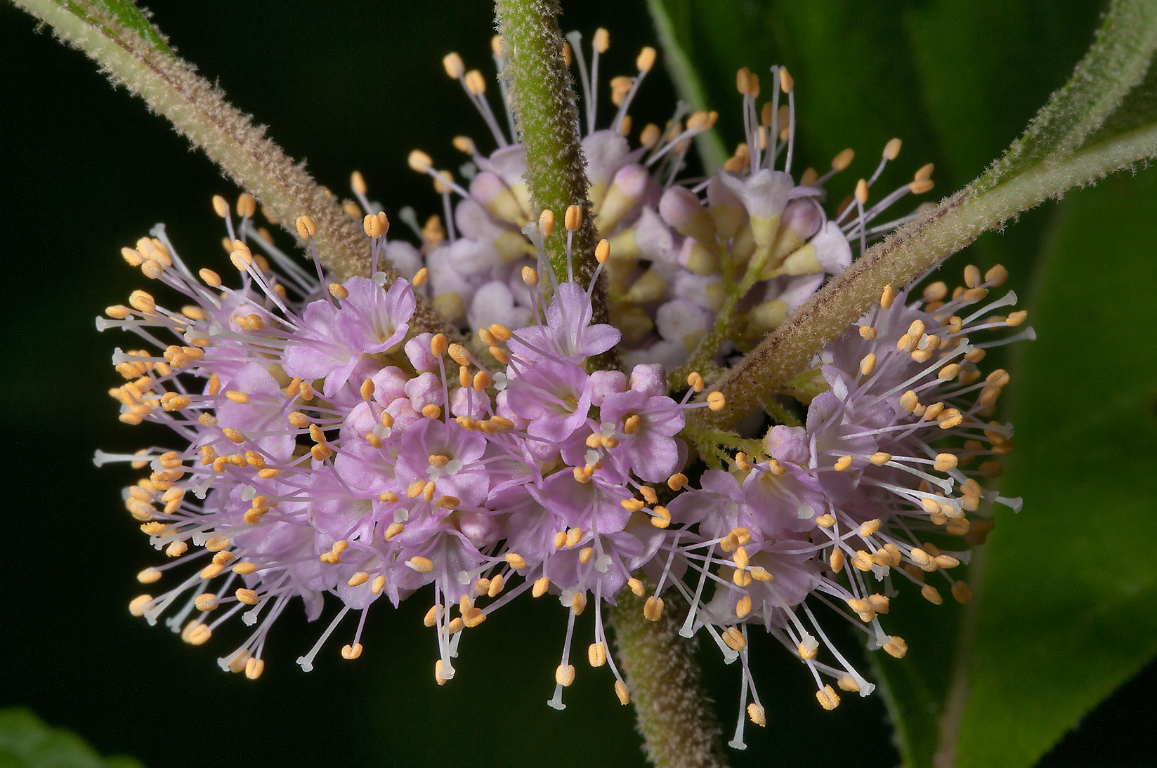 Flowers of beautyberry (Callicarpa americana) in...National Forest. Richards, Texas