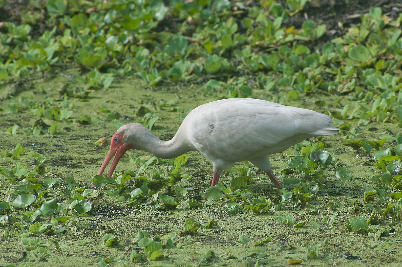 White ibis (Eudocimus albus) bird in Brazos Bend State Park. Needville, Texas