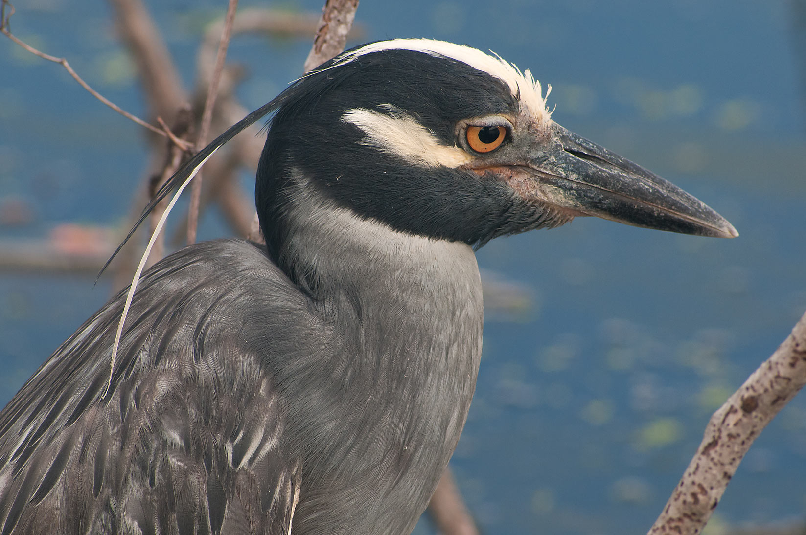 Close up of yellow-crowned night-heron bird in Brazos Bend State Park. Needville, Texas