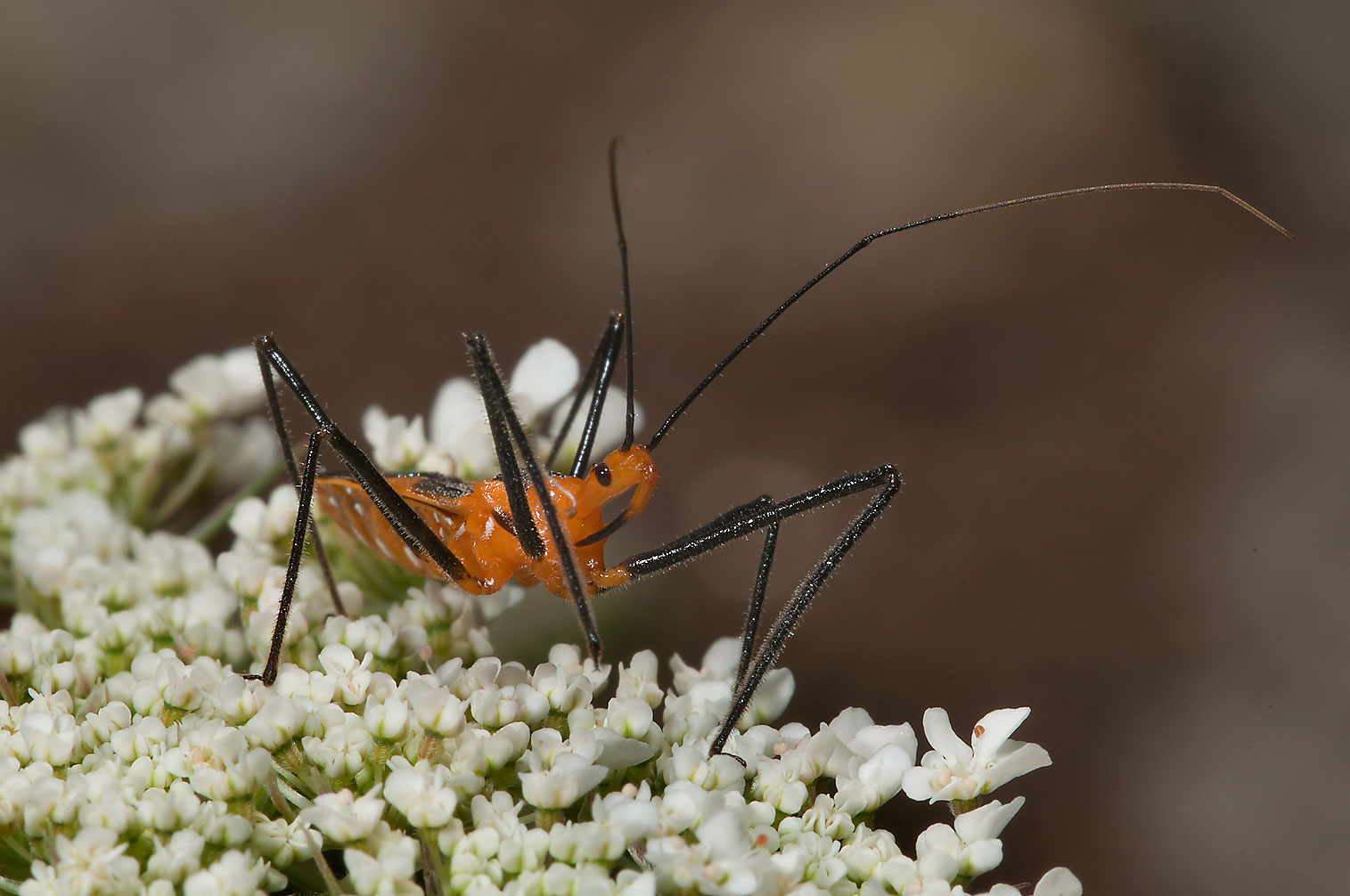 Assassin bug on queen Anne's lace in Antique Rose Emporium. Independence, Texas