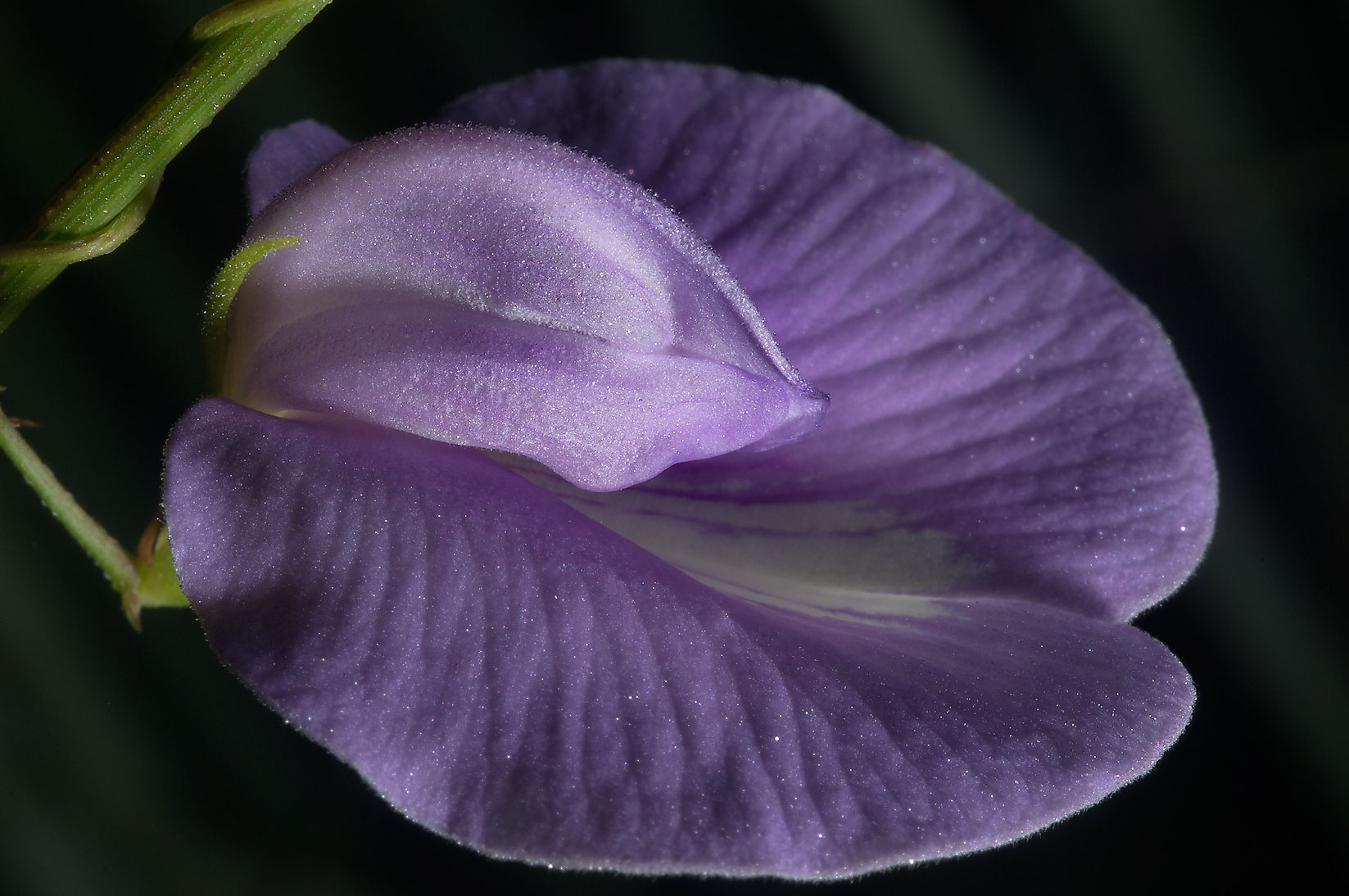 Flower of Butterfly pea (Centrosema virginianum...Creek Park. College Station, Texas