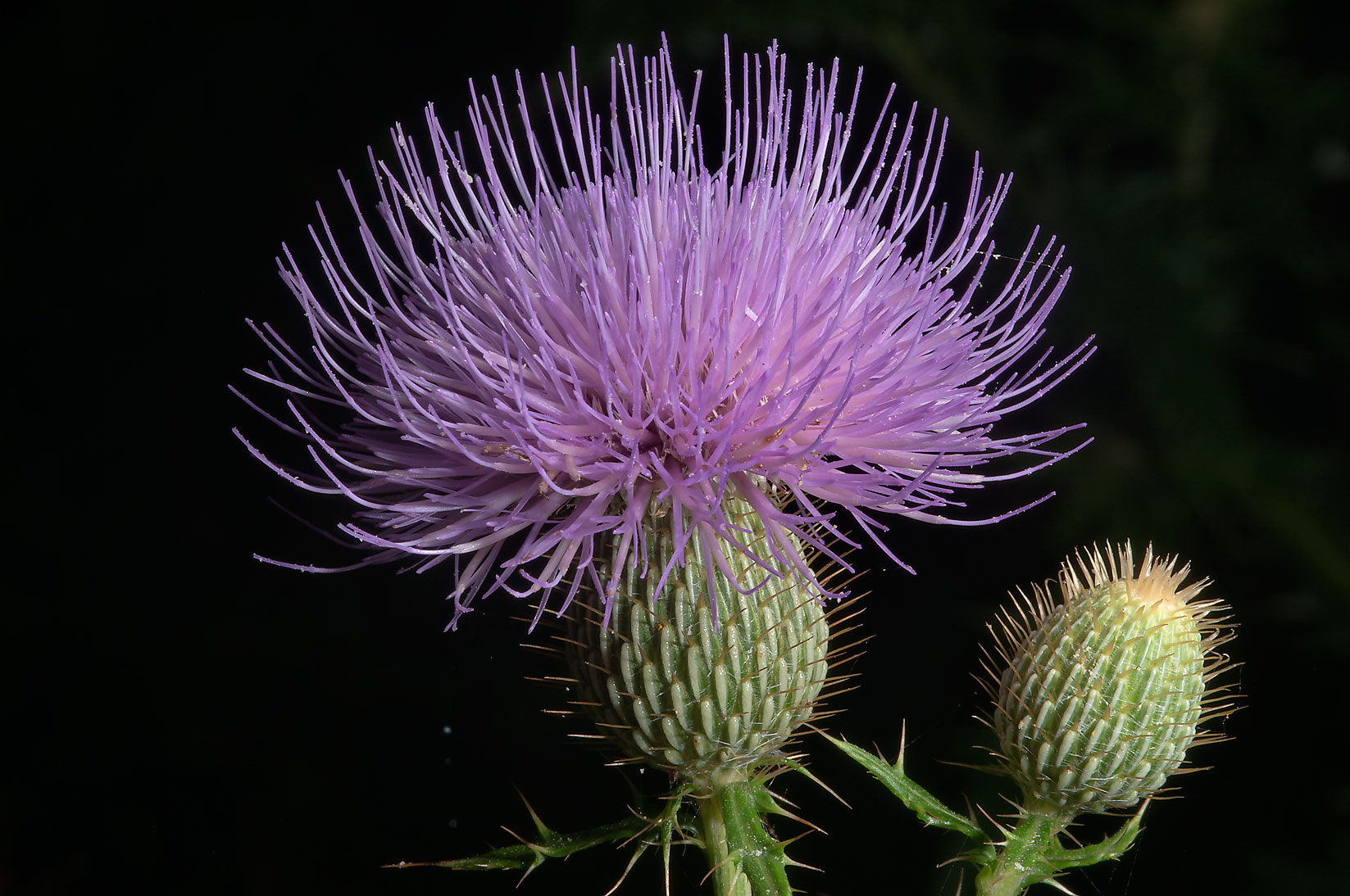 Thistle flower heads (Cirsium engelmannii) in Lick Creek Park. College Station, Texas