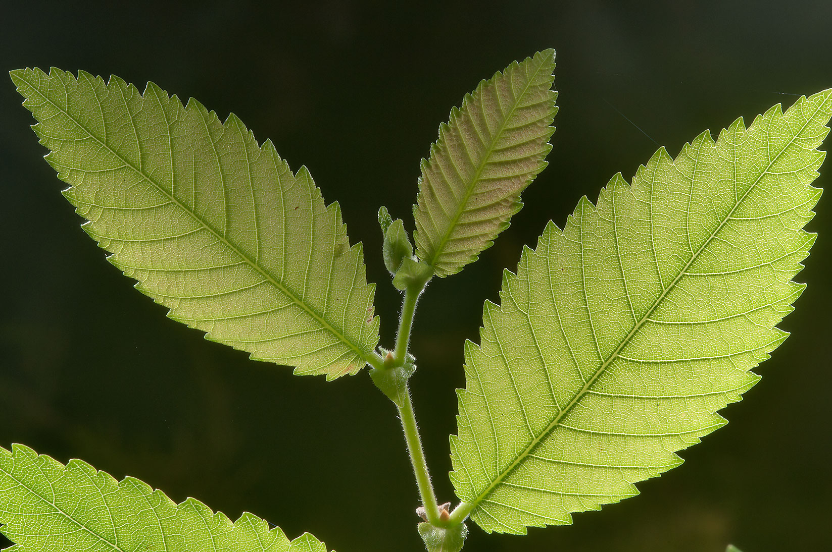 Back lit leaves of elm in Lick Creek Park. College Station, Texas