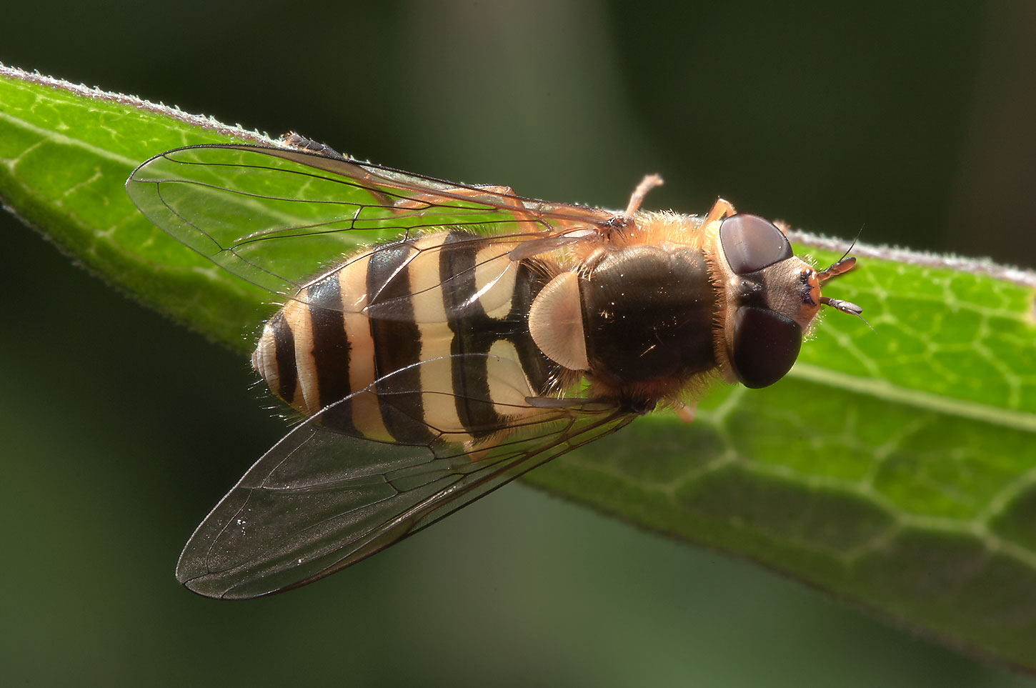 Hoverfly (Syrphidae, Russian name Zhurchalka) in...from Deviatkino. St.Petersburg, Russia